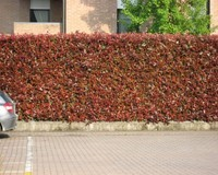 photinia-fraseri-red-robin-01